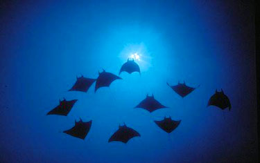 The Manta Dive